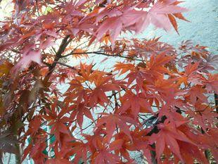 うちの紅葉.jpg