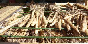 むかごが自然薯に.jpg