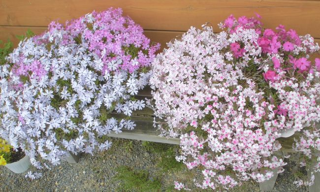 わが家芝桜.jpg