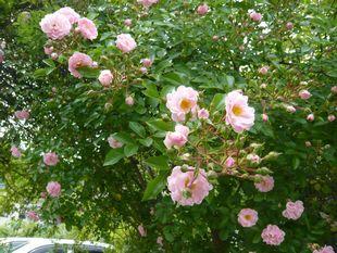 チャオのバラ.jpg