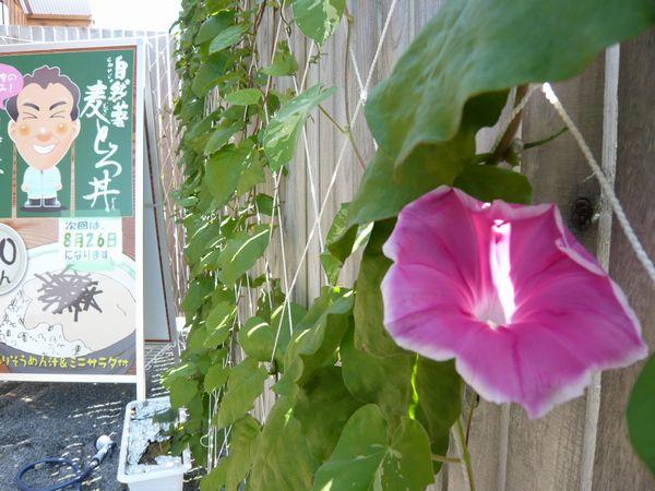 ピンクのアサガオ.jpg