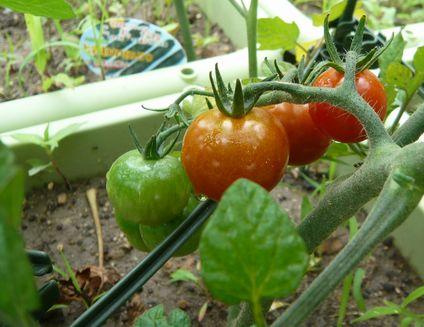 ミニトマト収穫.jpg