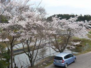 三よ志の桜.JPG