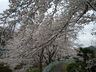 三原桜.JPG