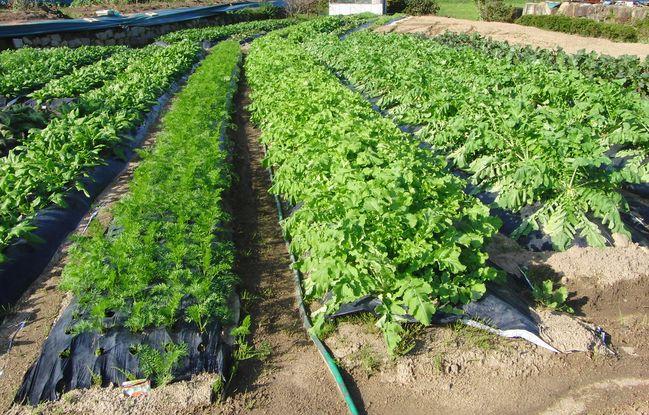 収穫を待つ野菜たち1.jpg