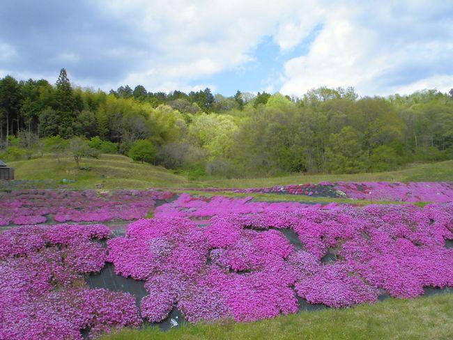 大和芝桜.jpg