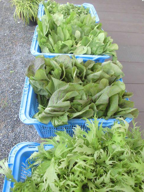 朝採り野菜2.jpg