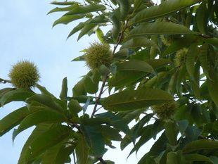 栗の木2.jpg