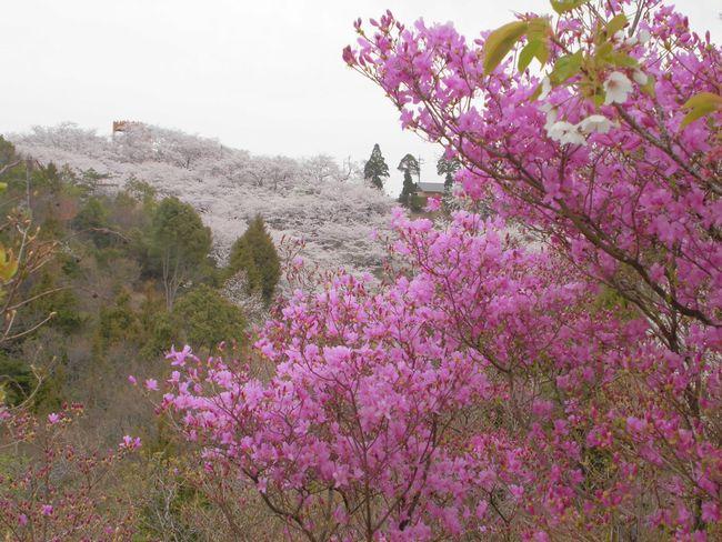 桜とツツジ.jpg