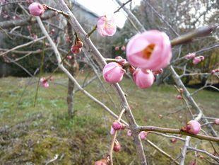 梅のつぼみ.jpg