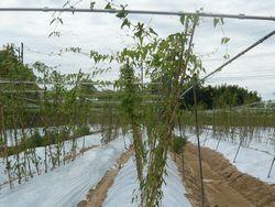 梅雨の自然薯.JPG