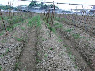 自然薯畑のネット.jpg