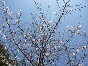 裏の桜.JPG