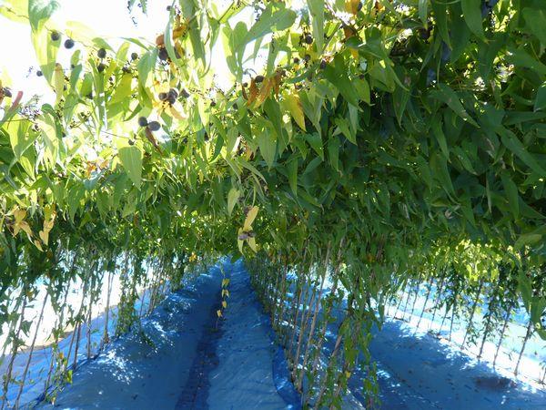 2012年10月21日の自然薯畑.jpg