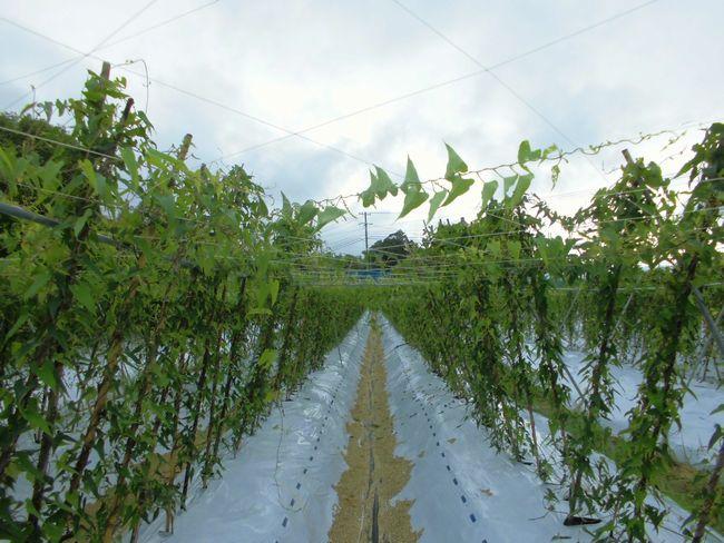 2014年8月9日の自然薯畑.jpg