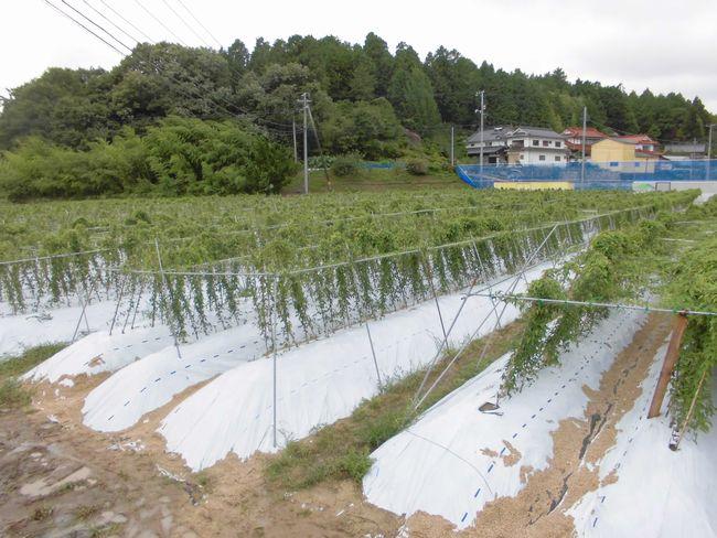 2014年8月9日畑防風ネット1.jpg