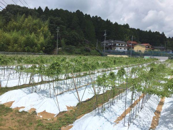 梅雨明けの自然薯畑