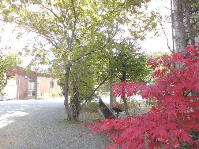 11月11日の裏庭モミジ1.jpg