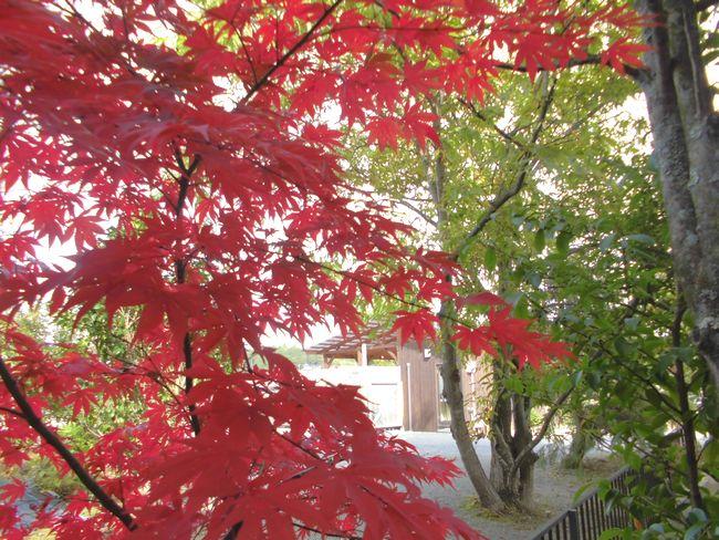 11月11日の裏庭モミジ2.jpg