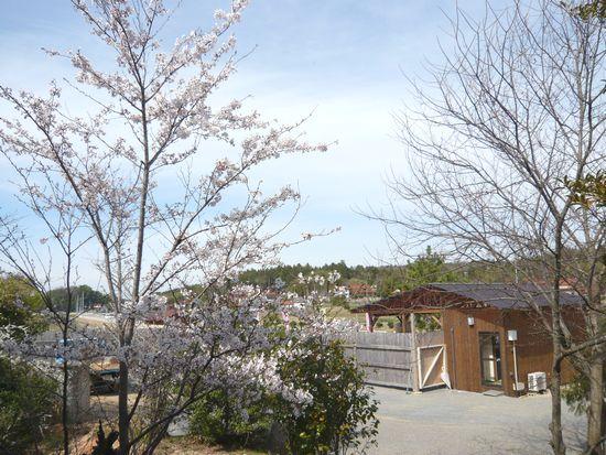 2012せんチャンちの桜.jpg