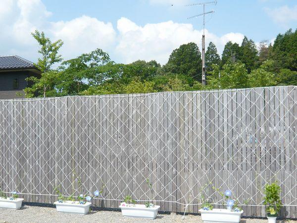 2012アサガオ2.jpg