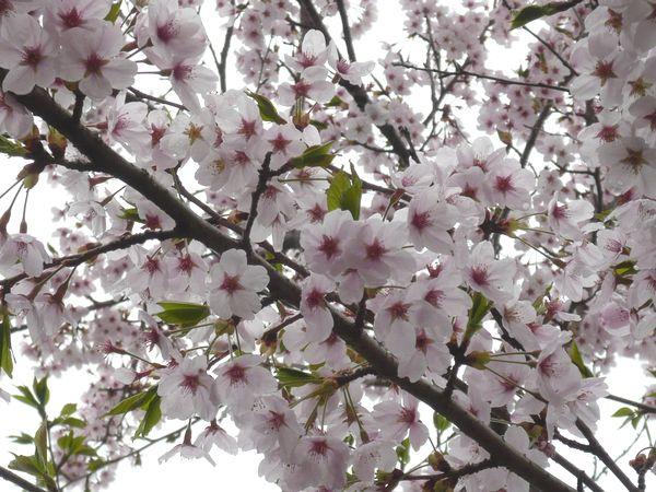 2012センチャンファーム桜.jpg