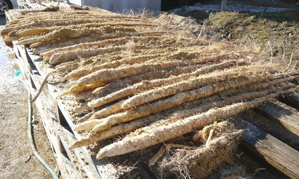 2012土付き自然薯.jpg