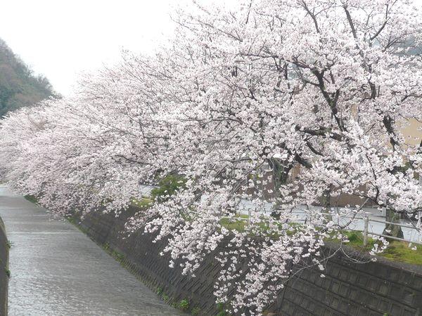 2012小坂の桜.jpg