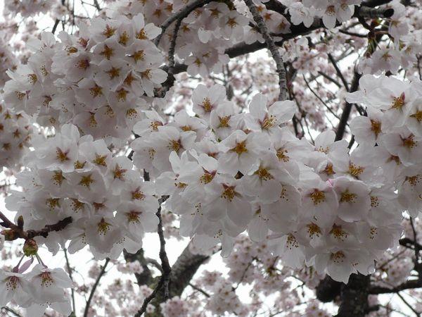 2012小坂の桜1.jpg