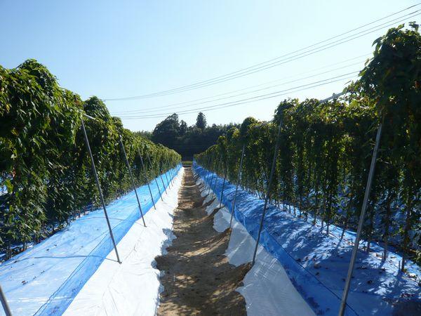2012年10月21日自然薯畑.jpg