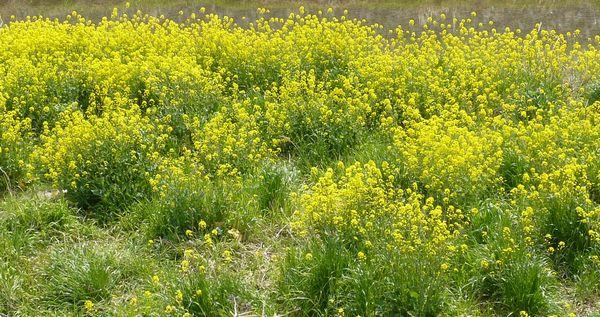 2012年4月菜の花.jpg