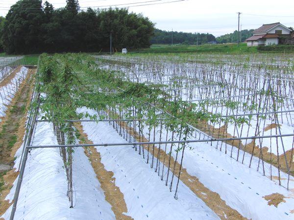 2012年7月畑.jpg