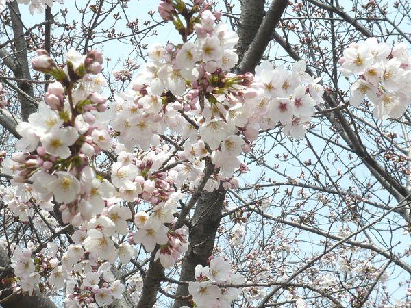 2012春桜.jpg