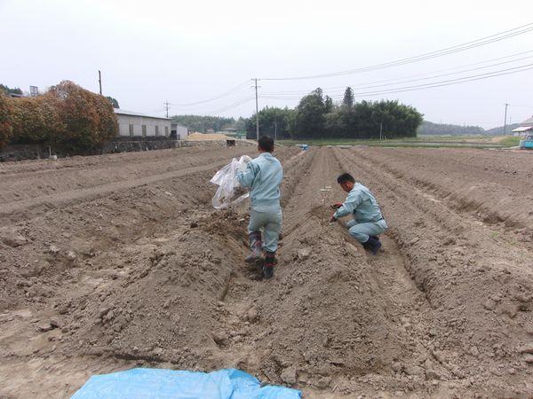 2012種芋定植.jpg
