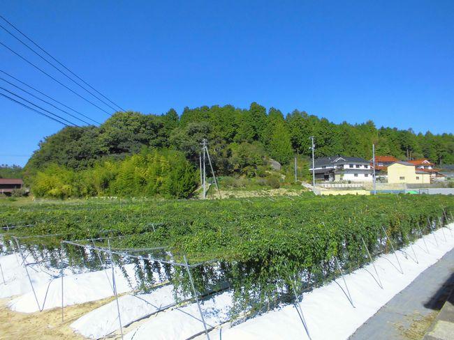 2013年10月1日の自然薯畑.jpg