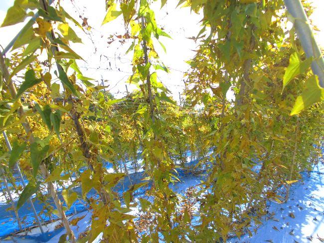 2013年11月8日の自然薯ツル1.jpg