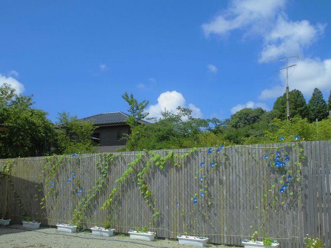 2013年7月中旬アサガオ全景.jpg