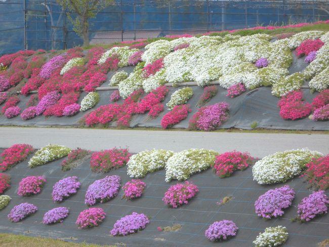 2013沖谷芝桜.jpg