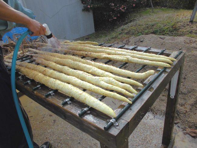 2013自然薯手洗い.jpg