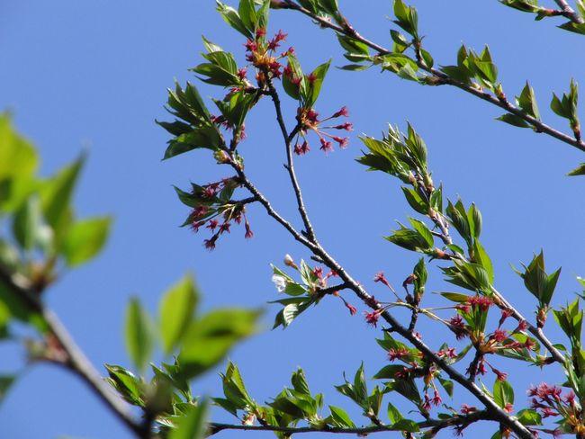 2013葉桜.jpg
