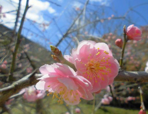 2014うちの梅開花.jpg