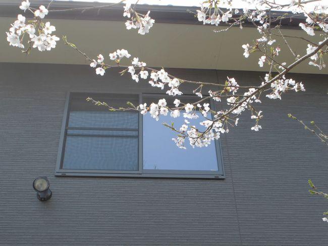 2014せんチャンちの桜.JPG