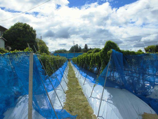 2014年10月台風一過自然薯畑.jpg