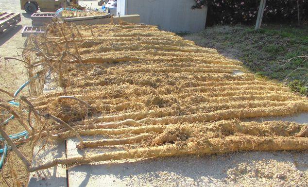 2014年11月28日自然薯掘り.jpg