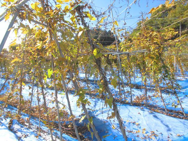 2014年11月4日の自然薯畑.jpg