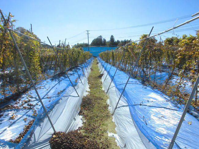 2014年11月4日の自然薯畑1.jpg
