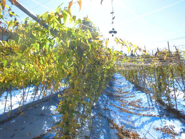 2014年11月4日の自然薯畑2.jpg