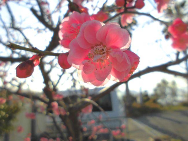 2014年2月20日梅の花.jpg