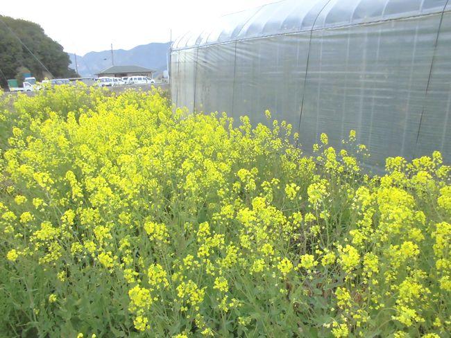 2014年3月12日の岩城菜の花.jpg