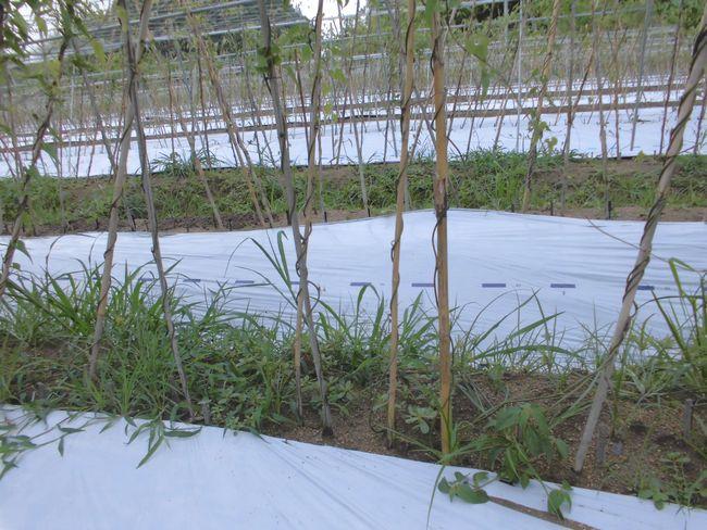2014年7月4日の自然薯畑1.jpg